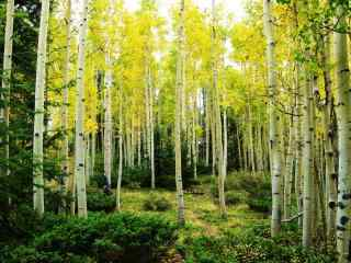 绿色唯美的白桦林风景win8桌面壁纸