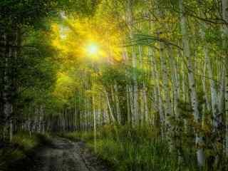 唯美白桦林风景win8桌面壁纸