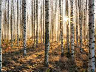夕阳下的白桦林风景win8桌面壁纸