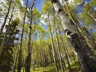 蓝天白云下的白桦林win8桌面壁纸